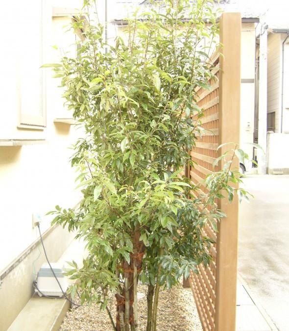 シラカシ(常緑樹)