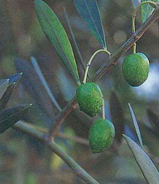 オリーブ(常緑樹)
