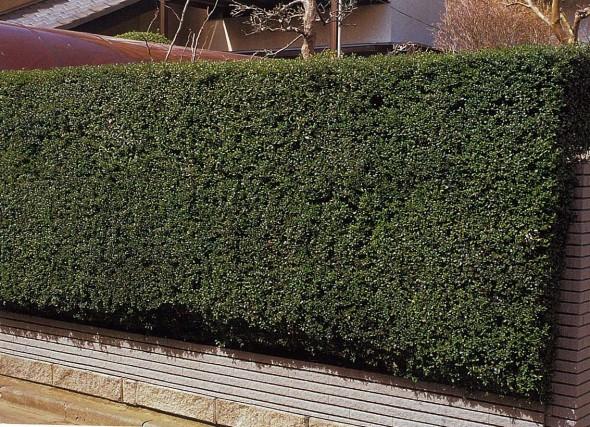 ツゲの生垣(常緑樹)