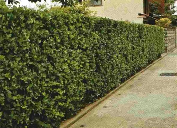 マサキ(常緑)の生垣