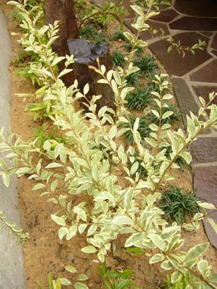 斑入りプリペット(常緑)