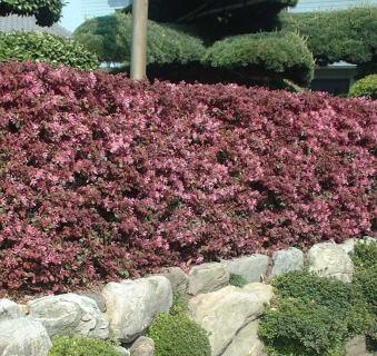 トキワマンサク(常緑)の生垣