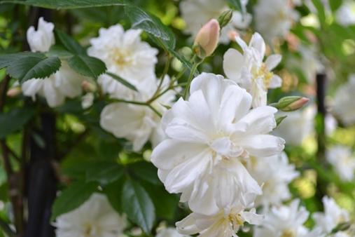 スノーグース(つる性四季咲きバラ)