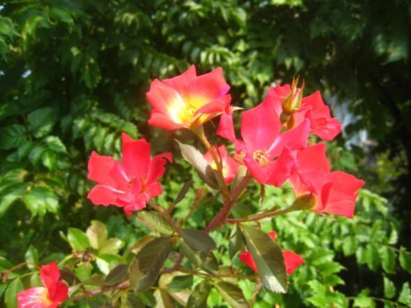 つるバラ カクテル(つる性落葉樹)