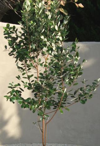 フェイジョア(常緑樹)
