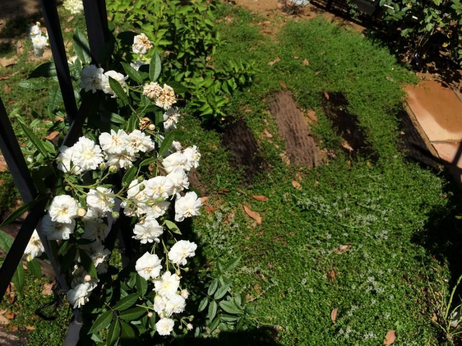 バラの咲く、木製パーゴラガーデン/坂井市K様邸