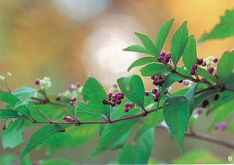 ムラサキシキブ(落葉樹)
