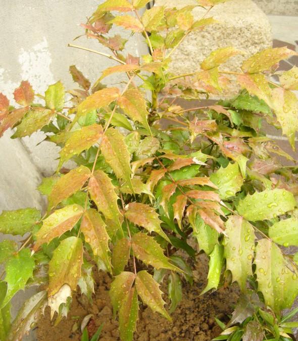 ヒイラギナンテン(常緑樹)
