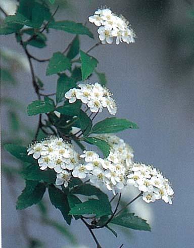 コデマリ(落葉樹)