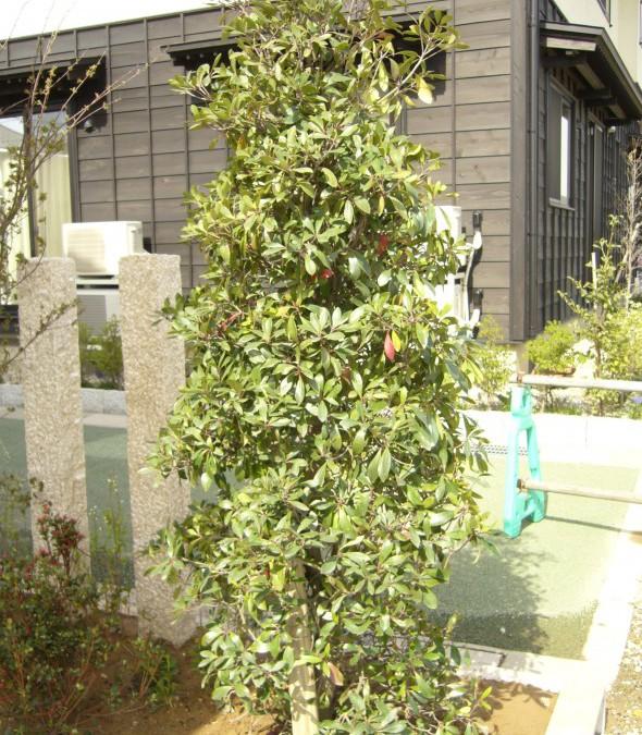 モッコク(常緑樹)