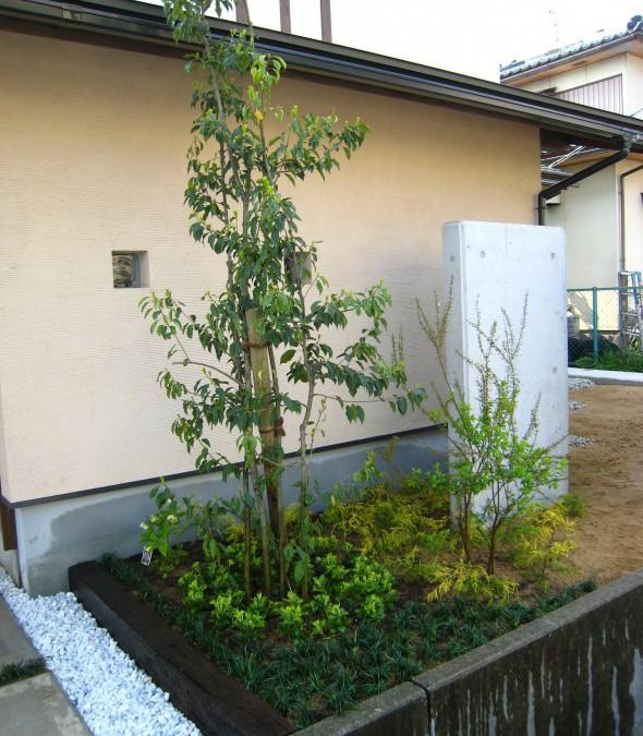 ソヨゴ(常緑樹)
