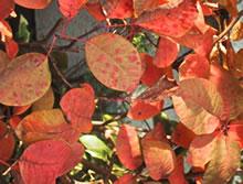 スモークツリー(落葉樹)
