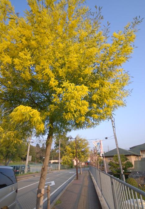 ミモザアカシア(常緑樹)