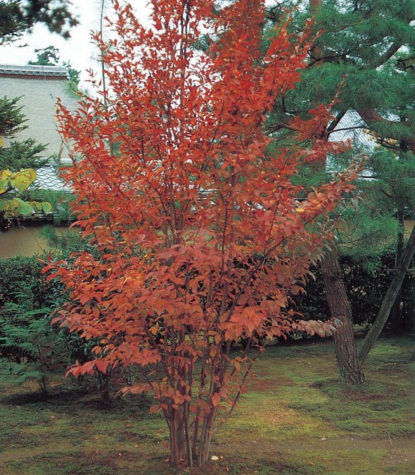 シャラノキ(落葉樹)