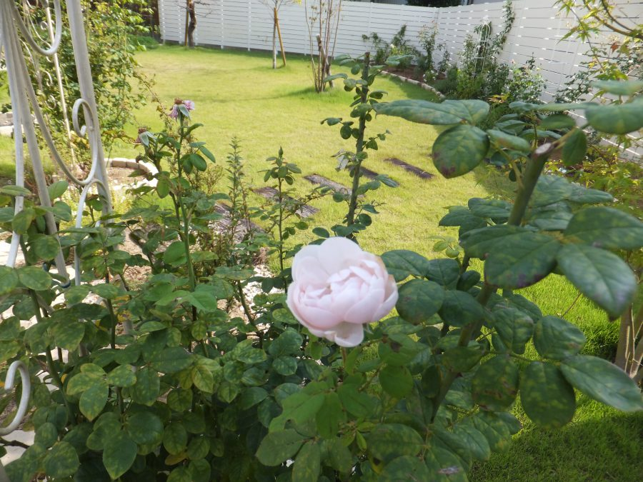 バラに囲まれるプライベートガーデン 福井市Y様邸